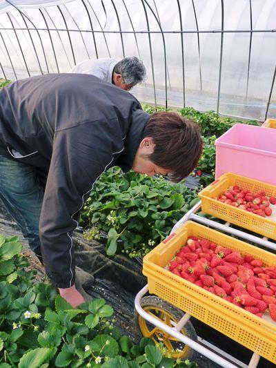 熊本産高級イチゴ『完熟紅ほっぺ』完熟の美味さ!朝採りの新鮮さ!こだわり減農薬栽培の安全性!が大好評!!_a0254656_12511525.jpg