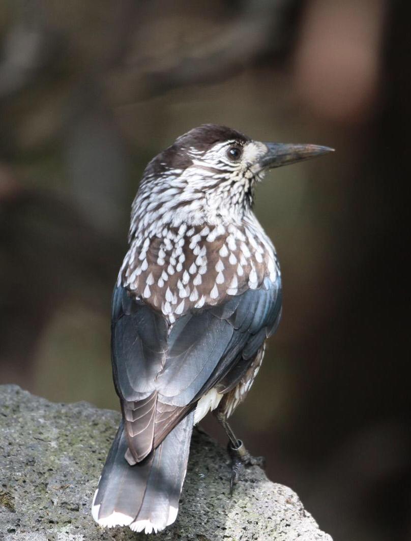 奥庭の鳥達    ホシガラス_d0346713_14182153.jpg