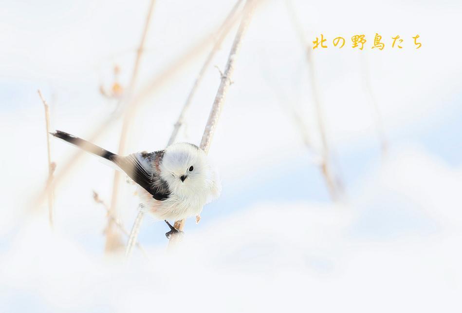シマエナガ_e0266021_2045492.jpg