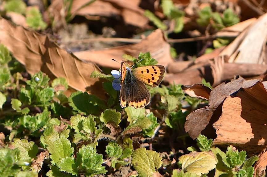 真冬の蝶たち、成虫&蛹&幼虫(2016年1月19日) _d0303129_20292065.jpg