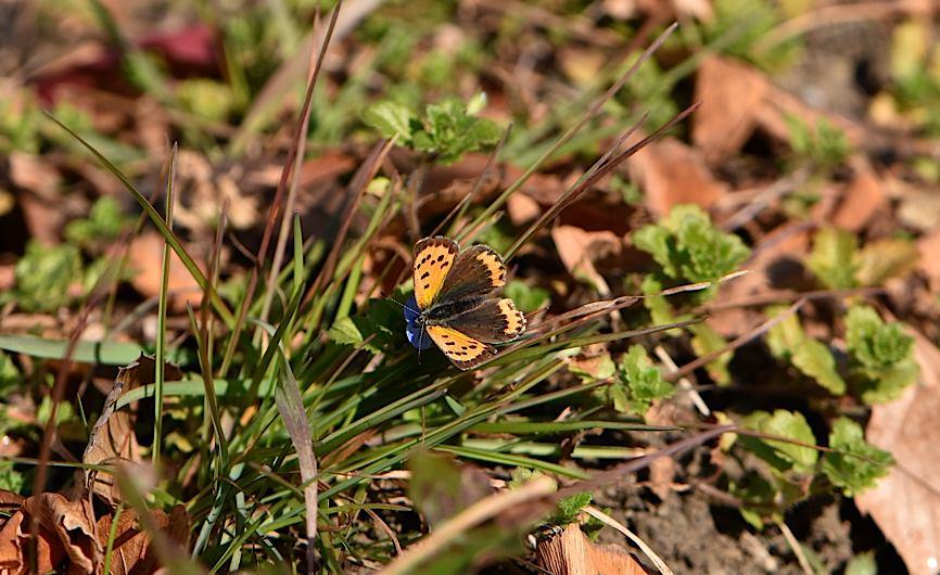 真冬の蝶たち、成虫&蛹&幼虫(2016年1月19日) _d0303129_20293377.jpg