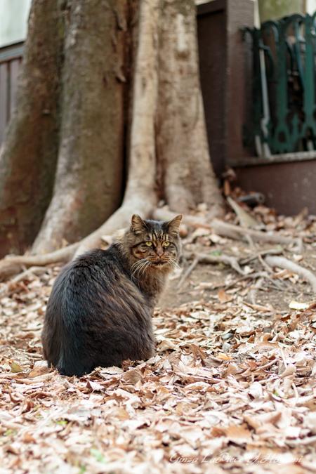 猫のいる風景 日比谷公園 長毛のキジトラちゃん_b0133053_07362.jpg