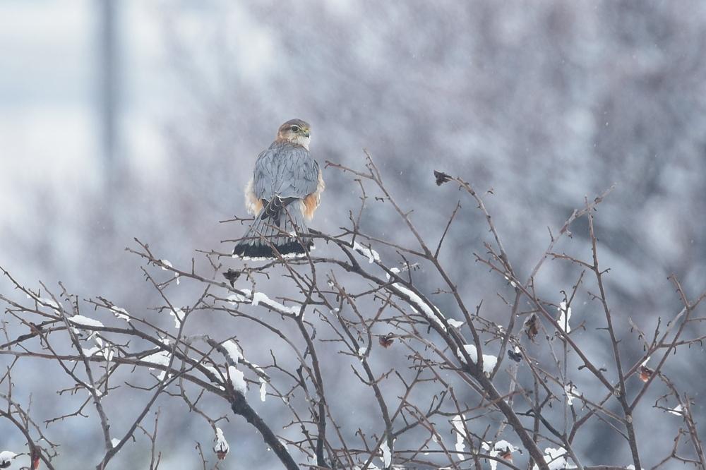 雪の日のコチョウゲンボウ Ⅰエンゼルポーズ_f0053272_9264098.jpg