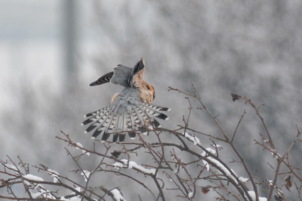 雪の日のコチョウゲンボウ Ⅰエンゼルポーズ_f0053272_9283677.jpg