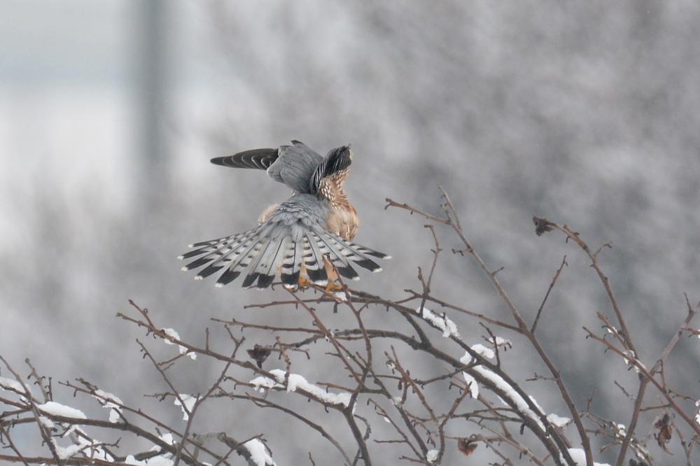 雪の日のコチョウゲンボウ Ⅰエンゼルポーズ_f0053272_9285952.jpg