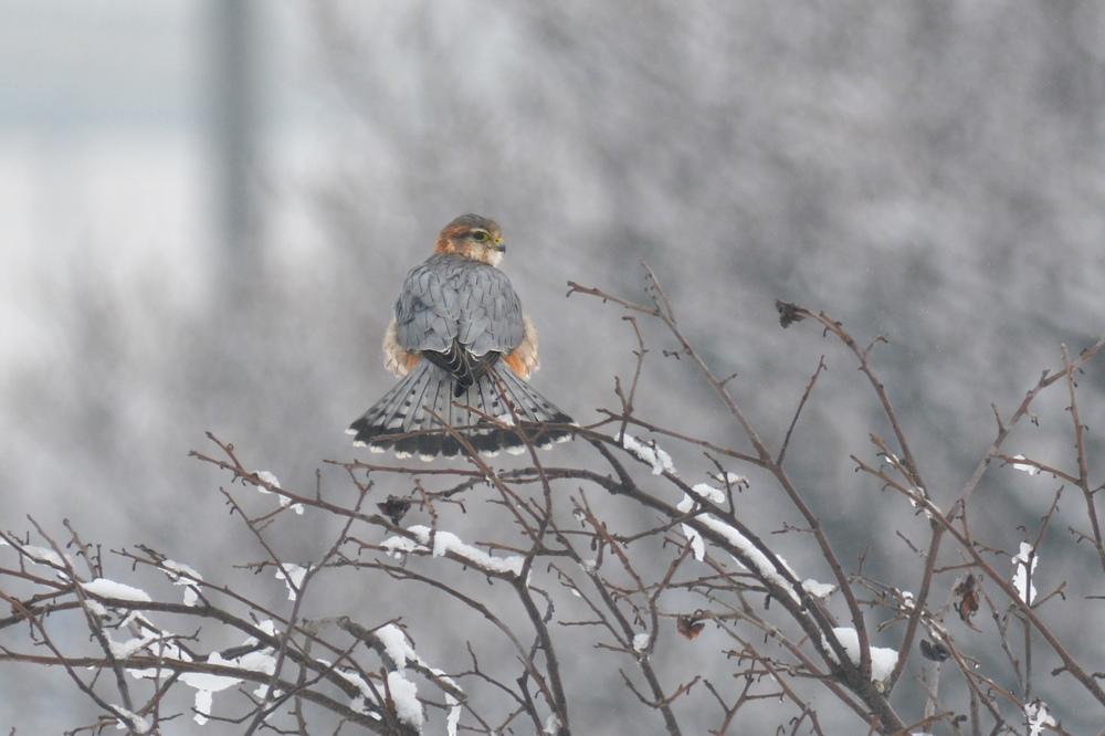 雪の日のコチョウゲンボウ Ⅰエンゼルポーズ_f0053272_9293938.jpg