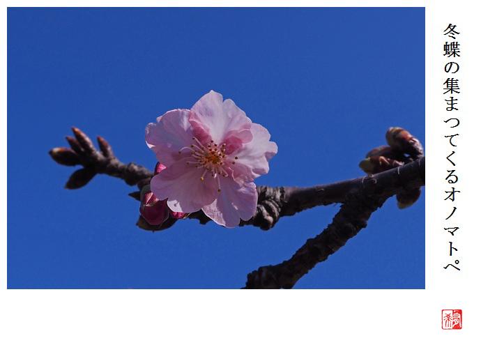 もう河津桜が_a0248481_21315827.jpg