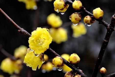 蝋梅 ー 早春の訪れー_d0237757_19501731.jpg