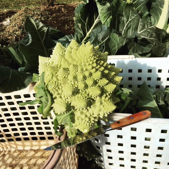 今年の大寒は今日です 冬野菜達も一番寒い日に元気だと 嬉しいもんです_c0222448_13340026.jpg
