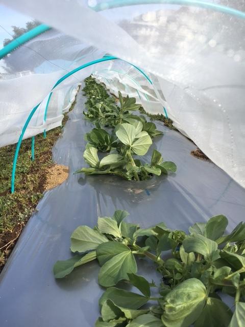 今年の大寒は今日です 冬野菜達も一番寒い日に元気だと 嬉しいもんです_c0222448_13341213.jpg