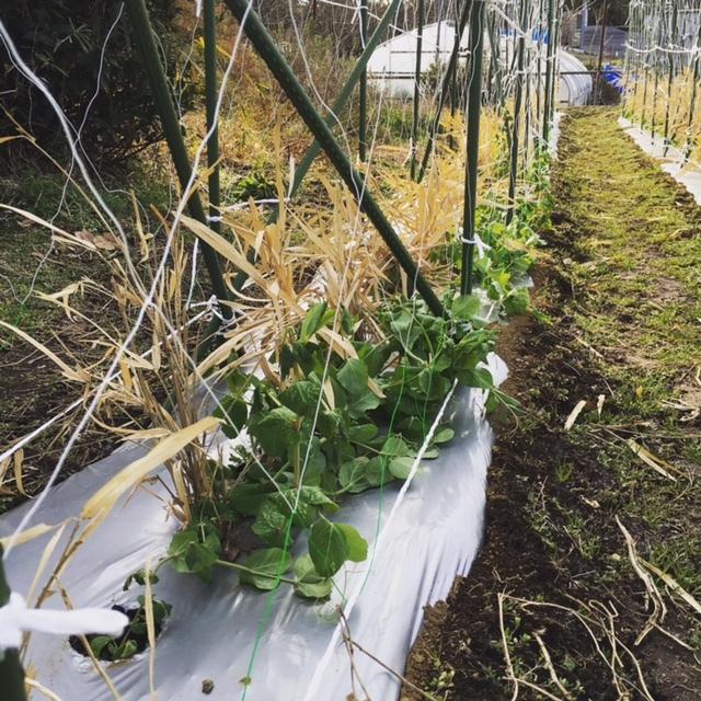 今年の大寒は今日です 冬野菜達も一番寒い日に元気だと 嬉しいもんです_c0222448_13344668.jpg