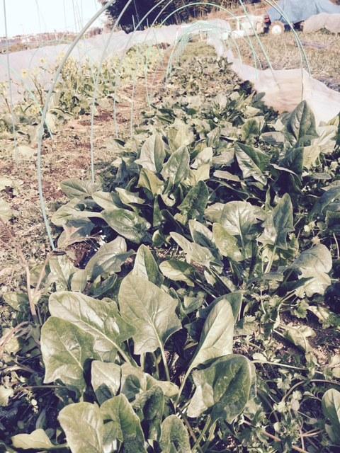 今年の大寒は今日です 冬野菜達も一番寒い日に元気だと 嬉しいもんです_c0222448_13345995.jpg