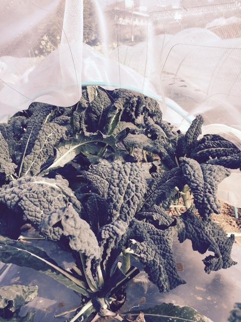 今年の大寒は今日です 冬野菜達も一番寒い日に元気だと 嬉しいもんです_c0222448_13353788.jpg