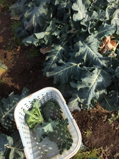 今年の大寒は今日です 冬野菜達も一番寒い日に元気だと 嬉しいもんです_c0222448_13372930.jpg