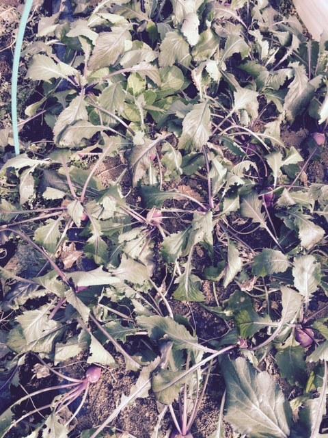 今年の大寒は今日です 冬野菜達も一番寒い日に元気だと 嬉しいもんです_c0222448_14125947.jpg