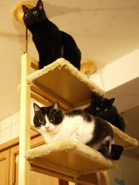 あたらしいキャットタワー猫 らぃらぎゃぉすてぃぁら編。_a0143140_22143016.jpg
