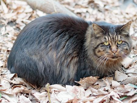 猫のいる風景 日比谷公園 長毛のキジトラちゃん_b0133053_06405.jpg