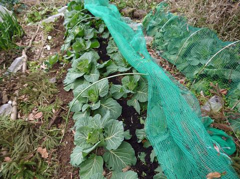レッドムーンの種芋購入、キャベツなどに追い肥:1・22~23_c0014967_17473310.jpg