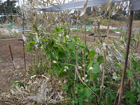 レッドムーンの種芋購入、キャベツなどに追い肥:1・22~23_c0014967_17483128.jpg