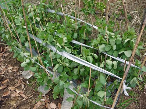 レッドムーンの種芋購入、キャベツなどに追い肥:1・22~23_c0014967_1748552.jpg