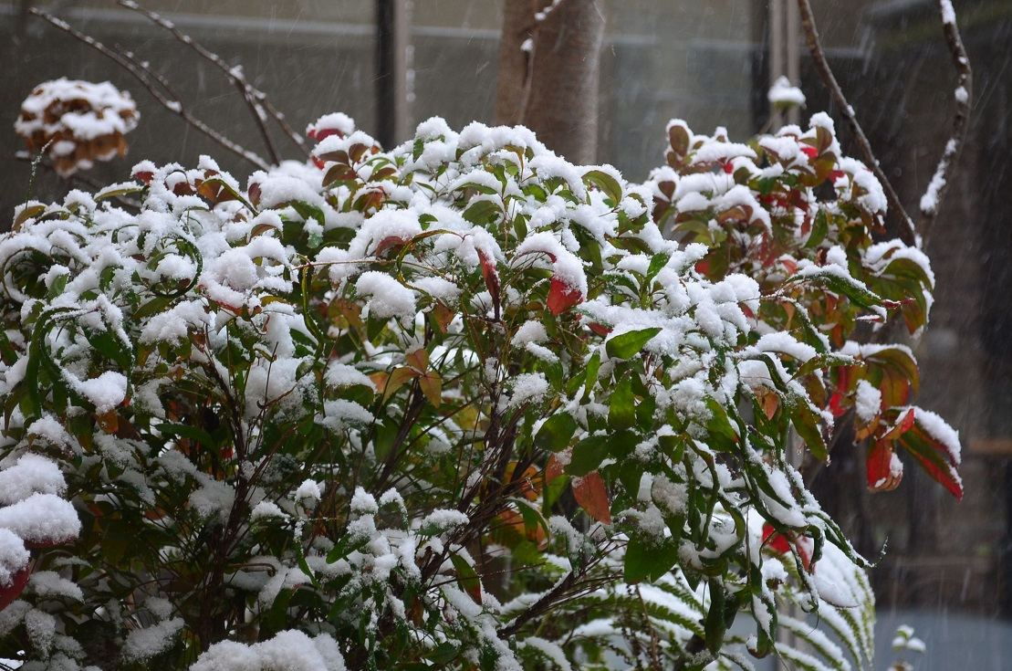 """Today\'s Heavy Snow 1/24 in the morning。。。 ""_d0153941_11165667.jpg"