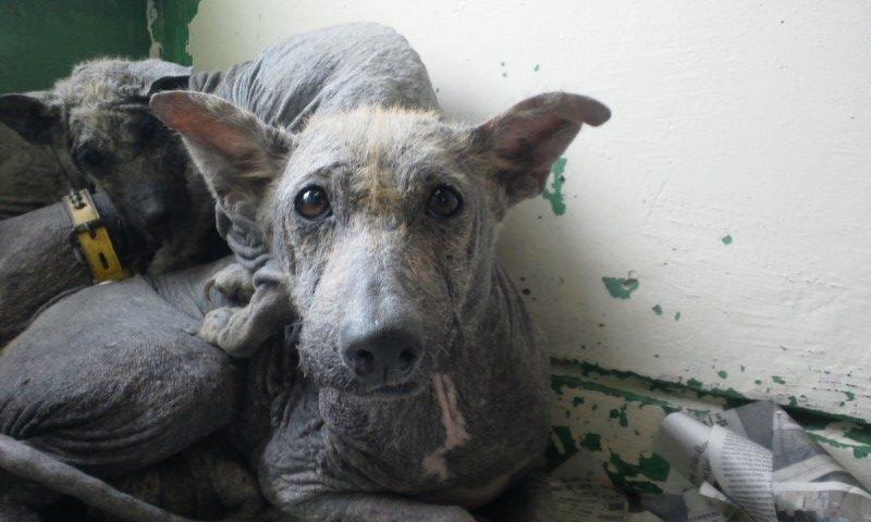 センター収容の皮膚病の犬たち_f0242002_20255693.jpg