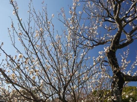 鶴岡八幡宮の梅_a0351368_19081942.jpg