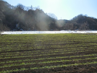 雪の解けた小麦畑_c0332682_21331004.jpg