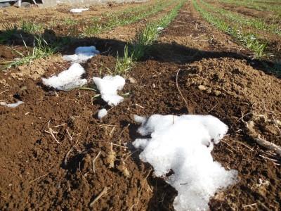 雪の解けた小麦畑_c0332682_21333555.jpg