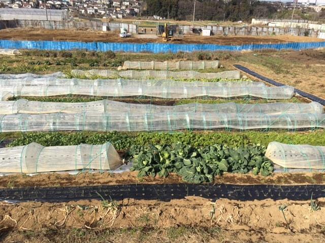 湿度少なく晴天 気温低いが・・・野菜達は元気です_c0222448_14245592.jpg