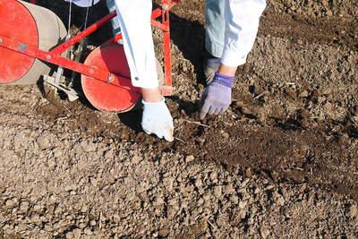 有機栽培の水田ごぼう 土作りから種まき、そして現在の発芽まで(2020) _a0254656_18114429.jpg