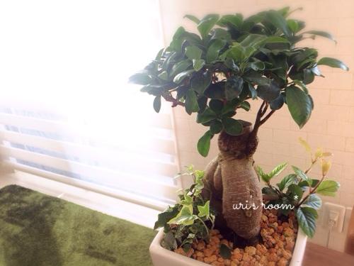 可愛い観葉植物わが家に登場(´∀`)しかも本物!…と、アラビア 24h Avecプレートでお昼ごはん!_a0341288_17273256.jpg