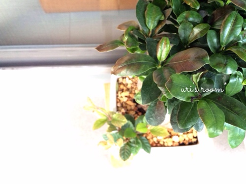 アラビア24h Avecプレートが揃いました!と、観葉植物ガジュ太郎が…。_a0341288_17273933.jpg
