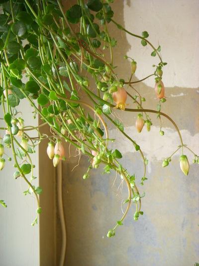 多肉植物の花。。。_a0229658_1324312.jpg