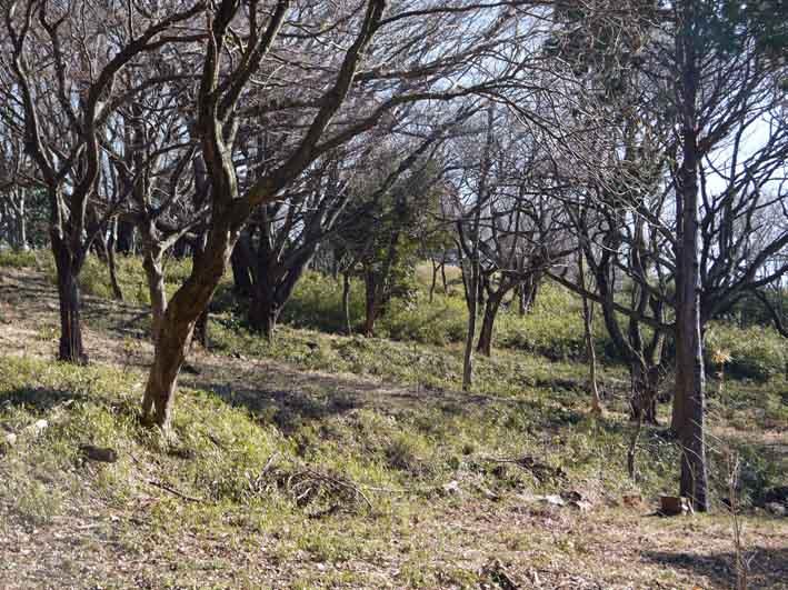 今年は夫婦桜の花見満喫可能に1・28六国見山臨時手入れ_c0014967_121881.jpg