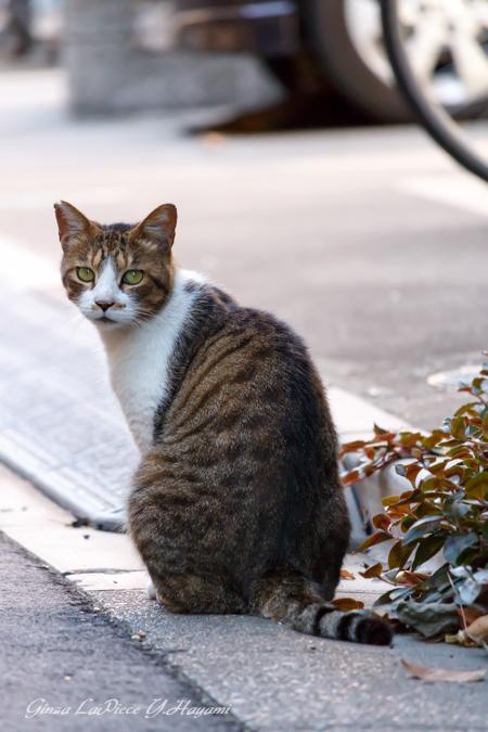 猫のいる風景 近所のキジトラ白ちゃん_b0133053_0321463.jpg