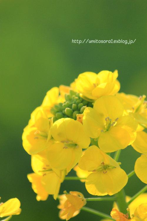 菜の花畑_b0324291_02232887.jpg