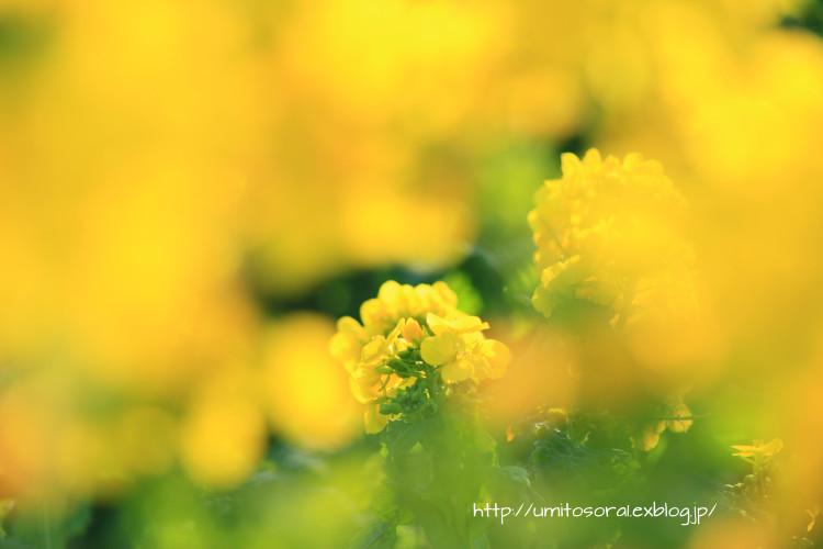 菜の花畑_b0324291_02233011.jpg