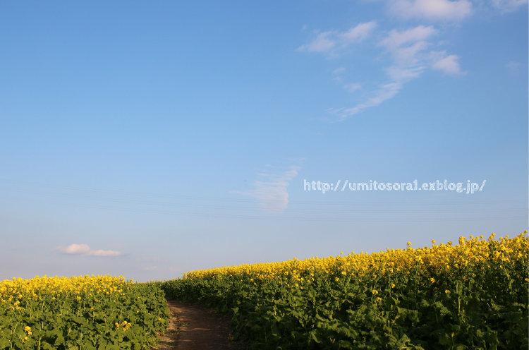 菜の花畑_b0324291_02585086.jpg