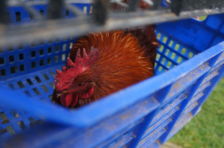 雄鶏の婿入り_f0106597_01364696.jpg