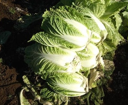 白菜の漬物..._b0137932_13182683.jpg