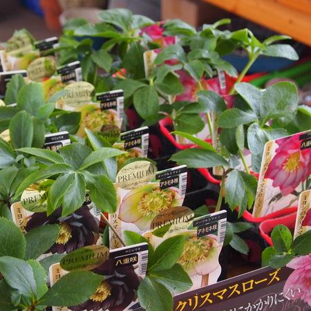 クリスマスローズの苗も入荷しました_a0292194_10404119.jpg
