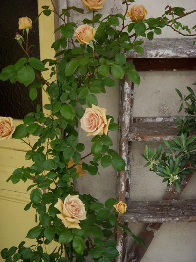 バラを愉しむために。。。_a0229658_17582820.jpg
