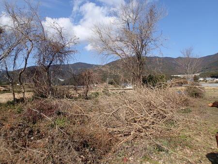 桑の木の伐採_a0026295_17493659.jpg
