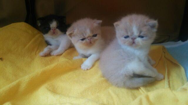 エキゾチック子猫ちゃん♪_e0033609_17255335.jpg
