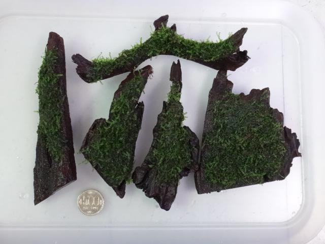 160204 熱帯魚・金魚・水草・観葉植物_f0189122_13123656.jpg
