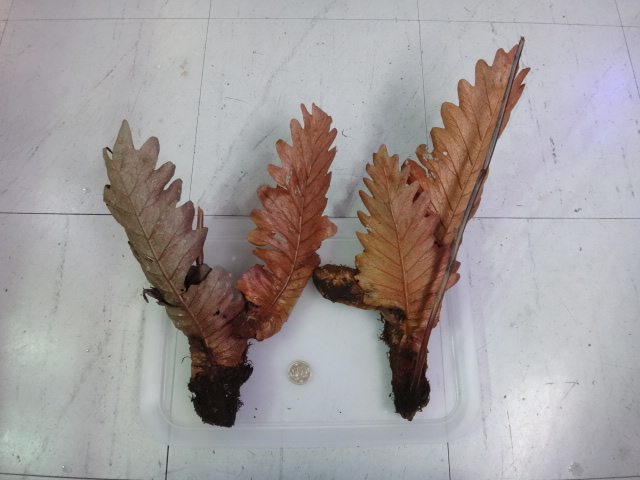 160204 熱帯魚・金魚・水草・観葉植物_f0189122_13211082.jpg