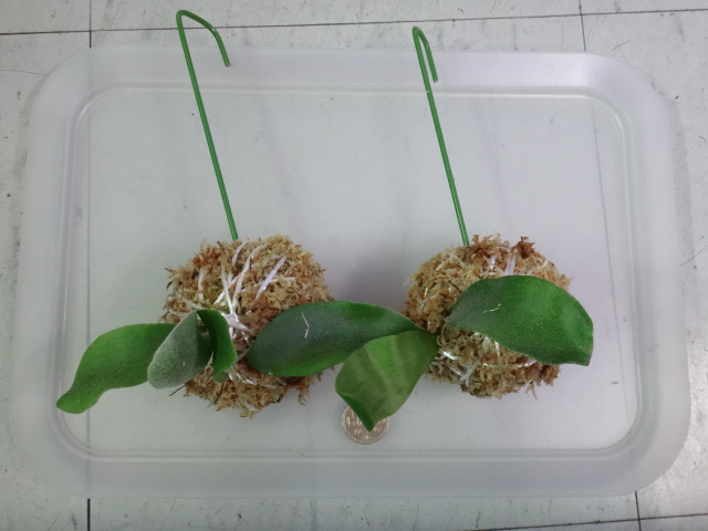 160204 熱帯魚・金魚・水草・観葉植物_f0189122_13274893.jpg