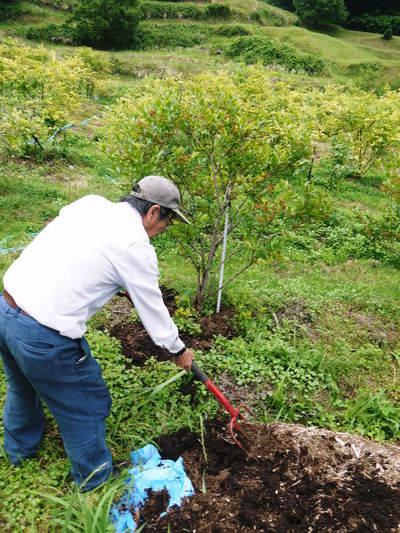 フレッシュブルーベリー 大きくて美味しい果実を実らせるために!枯れ枝剪定と冬の剪定作業の様子_a0254656_17385821.jpg