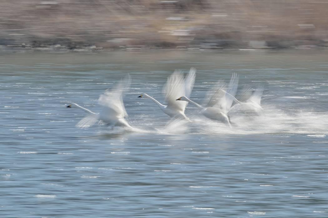 白鳥 ⑦_b0223668_1538532.jpg